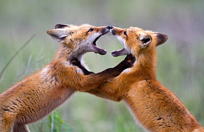 Pair Of Foxes At Play Posters