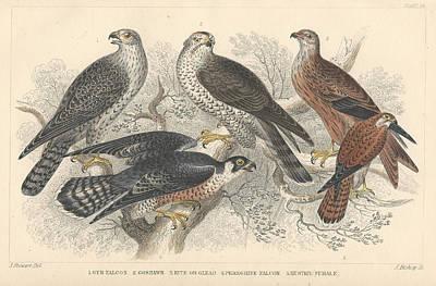 Gyr Falcon Posters