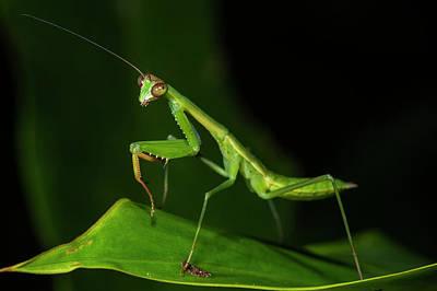 Mantidae Posters