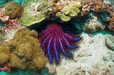 Designs Similar to Crown-of-thorns Starfish