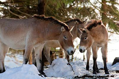 Equus Ferus Posters