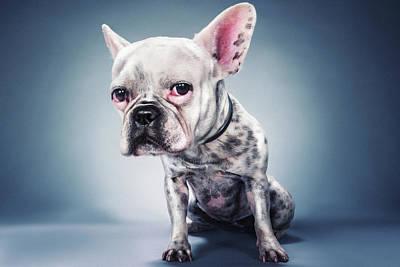 French Bulldog Photographs Posters