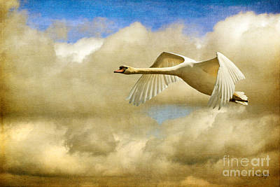 Flying Mute Swan Posters