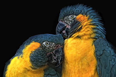 Blue And Gold Macaw Posters