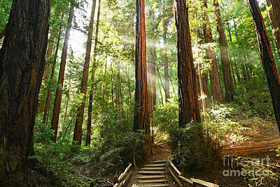 Muir Woods Photographs Posters