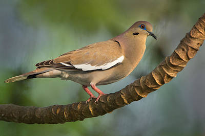 White Winged Dove Posters