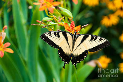 Swallowtail Photographs Posters
