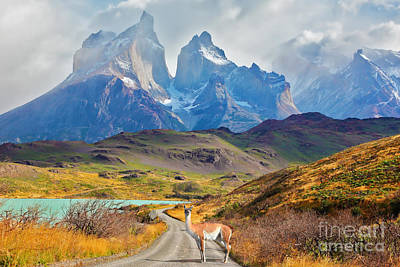 Guanaco Posters