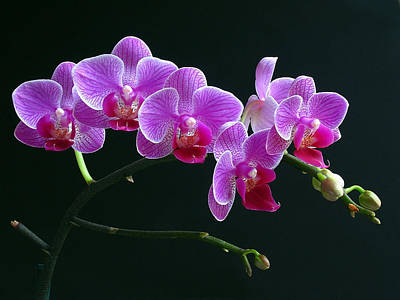 Orchid Artwork Posters
