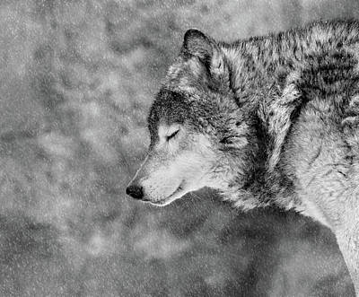 Furry Wolf Posters