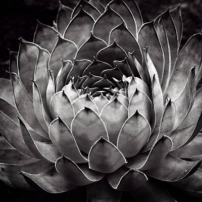 White Cactus Flower Posters