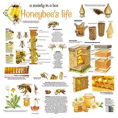 Honeybee Colony Posters