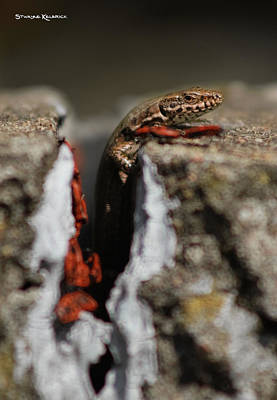 Poster featuring the photograph  A Lizard Emerging From Its Hole by Stwayne Keubrick