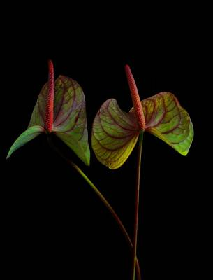 Anthurium 1 Poster by Thomas Born
