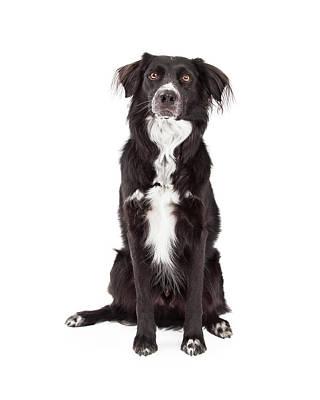 Attentive Border Collie Mix Breed Dog Sitting Poster by Susan Schmitz