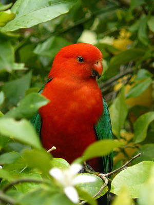 Poster featuring the photograph  Aussie King Parrot by Margaret Stockdale