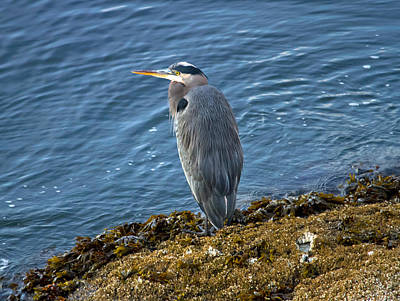 Poster featuring the photograph  Blue Heron On A Rock by Eti Reid
