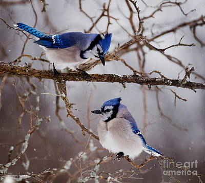 Blue Jay Pictures 61 Poster by World Wildlife Photography