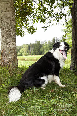 Border Collie In The Nature Poster