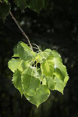 Cottonwood Tree Leaves Poster