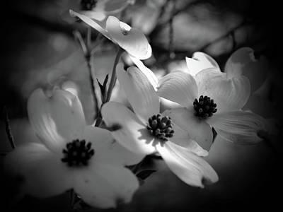 Dogwood Blossoms-bk-wh-v Poster