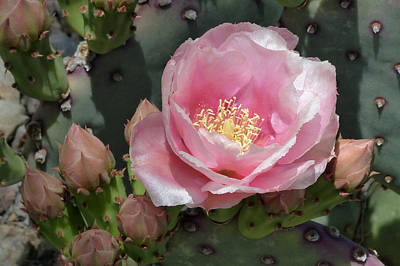 Durango Prickly Pear Poster by Cindy McDaniel