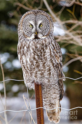 Great Gray Owl Poster by Michael Cummings