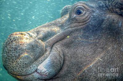 Hippopotamus Smiling Underwater  Poster