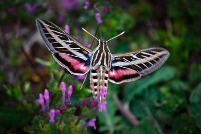 Hummingbird Moth Print Poster by Doug Long