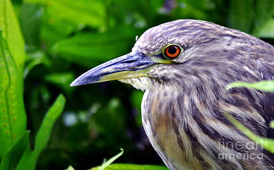 Juvenile Black Crowned Night Heron Poster by MaryJane Armstrong