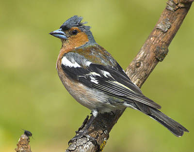 Male Chaffinch Poster by Guido Montanes Castillo