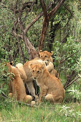 Masai Mara Lion Cubs Poster