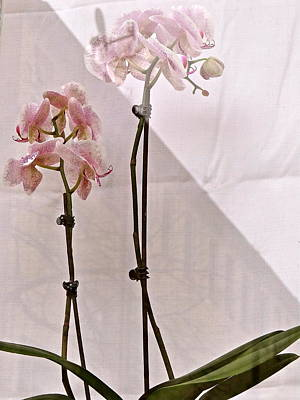 Poster featuring the photograph  Orchids In The Window by Ira Shander