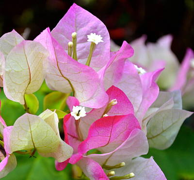 Pink  Bougainvillea ...with A Friend Poster