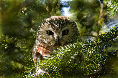 Saw-whet Owl Pictures  5 Poster by Owl Images