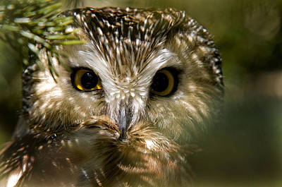 Saw-whet Owl Pictures  6 Poster by Owl Images