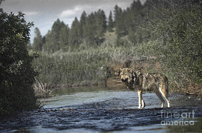 Wolf In The Rain Poster by Wildlife Fine Art