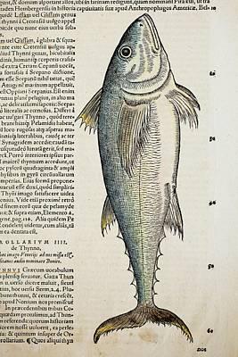 1560 Gesner Medditeranean Bluefin Tuna Poster by Paul D Stewart
