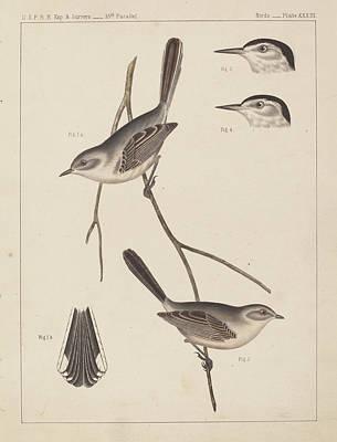19th Century Birds Poster