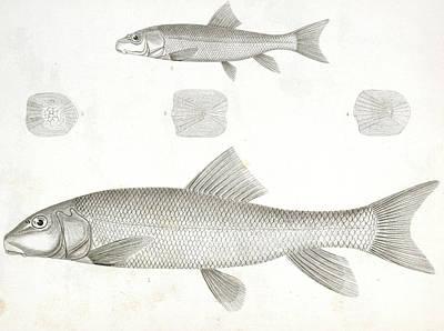 1-4. Catostomus Sucklii Poster