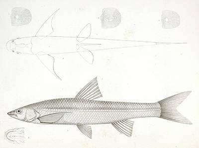 1-6. Pogonichthys Communis Poster