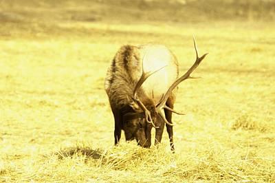 A Bull Elk Poster by Jeff Swan