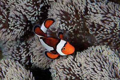 A Clownfish Swims Among The Tentacles Poster