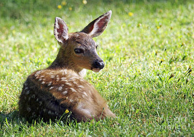 A Fawn On The Lawn Poster