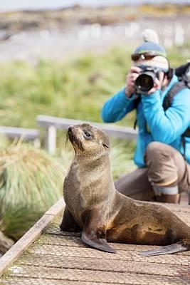 A Female Antarctic Fur Seal Poster