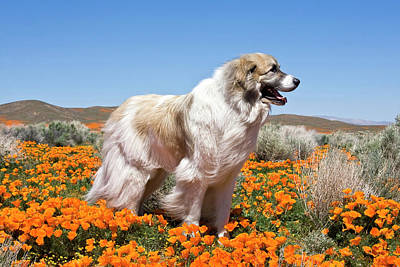 A Great Pyrenees Standing In A Field Poster