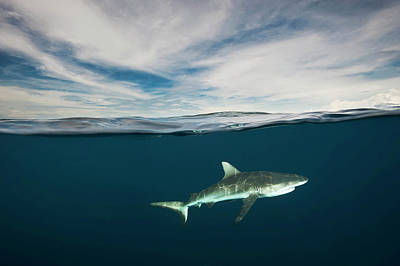 A Grey Reef Shark Swims In Kimbe Bay Poster by David Doubilet