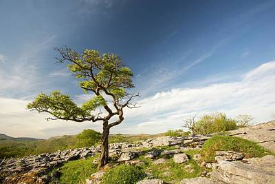 A Hawthorn Tree On Limestone Pavement Poster by Ashley Cooper