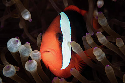 A Red And Black Anemonefish Swims Among Poster