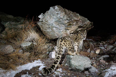 A Remote Camera Captures A Snow Leopard Poster by Steve Winter